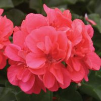 Geranium 'Apricot' - 5 geranium plug plants by Van Meuwen