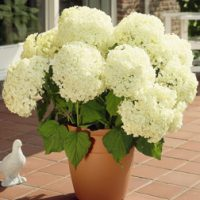 Hydrangea arborescens 'Annabelle' (Large Plant) - 1 plant in 10.5cm pot by Van Meuwen