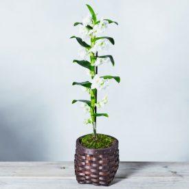 Dendrobium Orchid Basket Whiteby Waitrose Florist
