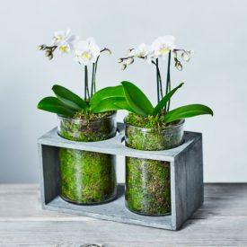 Mini Twin Stem Orchid Duo Jar Whiteby Waitrose Florist