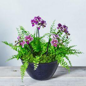 Double Twin Stem Orchid & Fern Planter Purpleby Waitrose Florist