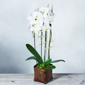 Cascade Orchid Basket Whiteby Waitrose Florist