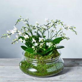Luxury Orchid Bowl Whiteby Waitrose Florist