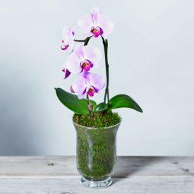 Pink Cascade Phalaenopsis Orchid Pinkby Waitrose Florist