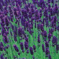 Lavender 'Hidcote' - 12 lavender plug tray plants by Van Meuwen