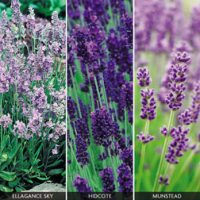 English Lavender Collection - 18 lavender plug tray plants - 6 of each variety by Van Meuwen
