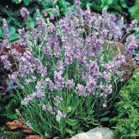 Lavender 'Ellagance Sky' - 6 lavender plug tray plants by Van Meuwen