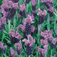 Lavender 'Fathead' (Large Plant) - 2 plants in 2 litre pots by Van Meuwen