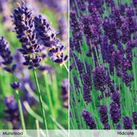 Lavender 'Duo Collection' - 48 lavender plug tray plants - 24 of each variety by Van Meuwen