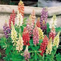 Lupin - 4 bare root lupin plants by Van Meuwen