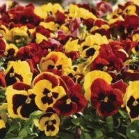 Pansy 'Autumn Blaze Mixed' (Garden Ready) - 30 pansy garden ready plants by Thompson & Morgan