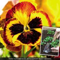 Pansy 'Autumn Blaze Mixed' (Garden Ready) - 30 garden ready pansy plug plants by Van Meuwen