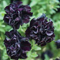 Petunia 'Black Night' - 5 petunia Postiplug plants by Thompson & Morgan