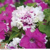 Petunia 'Art Deco' - 48 petunia plug plants by Thompson & Morgan