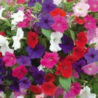 Petunia 'Bedding Mix' - 24 petunia plug tray plants by Van Meuwen