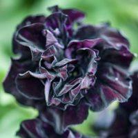 Petunia 'Black Night' - 5 petunia plug plants by Van Meuwen