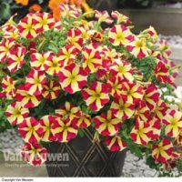 Petunia 'Amore Queen of Hearts' - 5 petunia plug plants by Van Meuwen