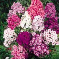 Phlox 'Fragrant Collection' - 20 phlox plants - 5 of each colour by Van Meuwen