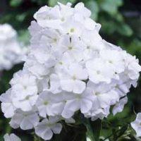Phlox 'Admiral' - 5 bare root phlox plants by Van Meuwen