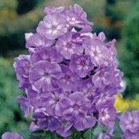 Phlox 'Laura' (Large Plant) - 1 phlox plant in 2 litre pot by Van Meuwen