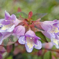 Abelia parvifolia 'Bumblebee'