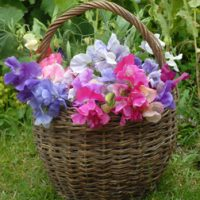 Sweet Pea 'Sweet Dreams Mixed' - 6 sweet pea premium plugs (30 plants) by Thompson & Morgan