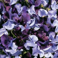 Sweet Pea 'Oxford and Cambridge Mixed' - 6 sweet pea premium plugs (30 plants) by Thompson & Morgan
