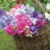 Sweet Pea 'Sweet Dreams Mixed' - 6 multisown sweet pea plug plants + 1 Tower Pot™ by Van Meuwen