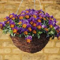 Pansy 'Avalanche' - 48 pansy plug tray plants by Van Meuwen