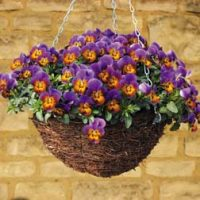 Pansy 'Avalanche Bronze Lavender' (Trailing) - 72 pansy plug plants by Thompson & Morgan